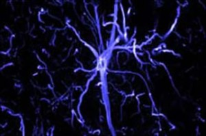 Astrocyte from a rabbit optic nerve