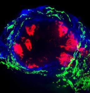 Autonomic Dermal Nerve Fibers